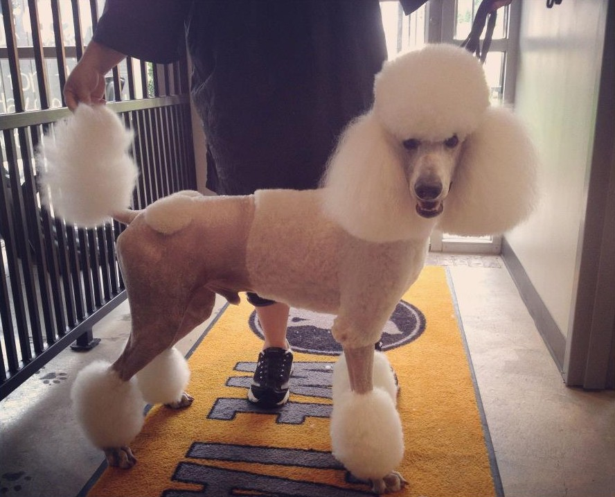 Standard Poodle e1387331202577 Grooming