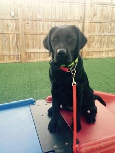 Sailor, a 5 month old lab puppy.